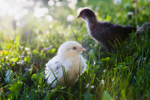 Fuzzy yellow chick in sunny grassの写真素材 [FYI02284657]