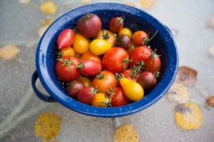 Still life variety fresh organic tomatoes in strainerの写真素材 [FYI02284900]