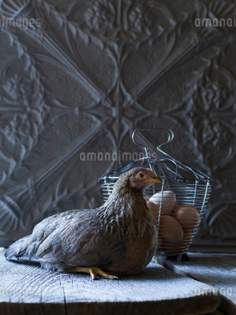 Chicken laying next to fresh organic eggs in wire basketの写真素材 [FYI02285078]