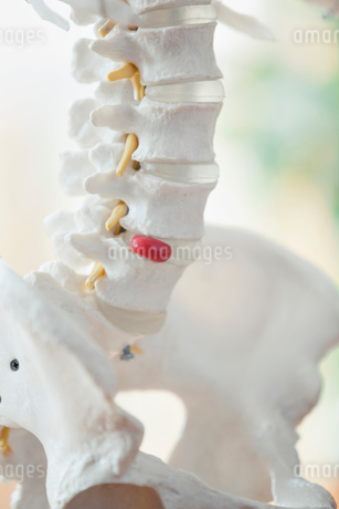 closeup view of anatomical model of spineの写真素材 [FYI02287152]