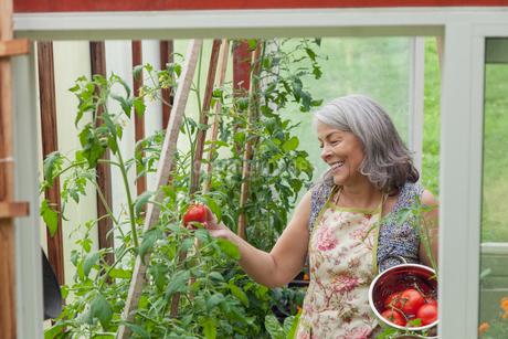 senior woman picking tomatoes in greenhouse gardenの写真素材 [FYI02287686]
