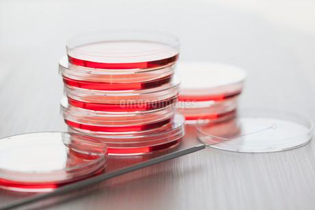 petri dish with inoculating loopの写真素材 [FYI02287705]