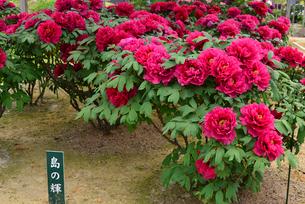 弥彦牡丹園の牡丹の花の写真素材 [FYI02287843]