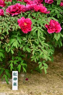 弥彦牡丹園の牡丹の花の写真素材 [FYI02287869]