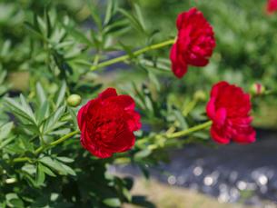 東公園ぼたん園に咲くボタンの花の写真素材 [FYI02287931]