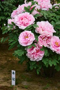 弥彦牡丹園の牡丹の花の写真素材 [FYI02287939]