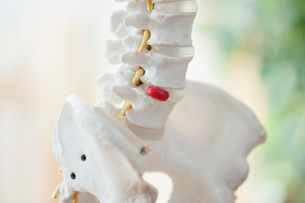 closeup view of anatomical model of spineの写真素材 [FYI02289035]