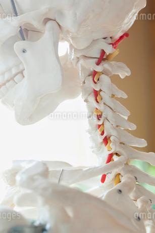 closeup of anatomical modelの写真素材 [FYI02289931]