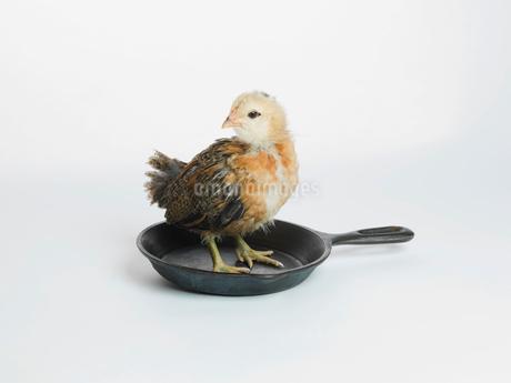 Chicken standing in panの写真素材 [FYI02290457]