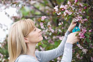mature woman pruning treeの写真素材 [FYI02291075]