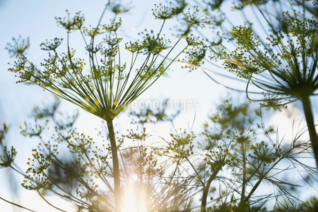 Fennel flowers against skyの写真素材 [FYI02292062]