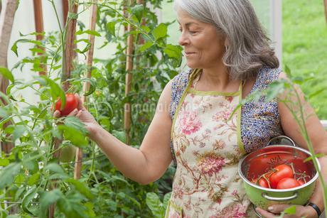 senior woman picking tomatoes in greenhouse gardenの写真素材 [FYI02292238]