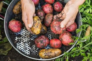 Man holding freshly harvested potatoesの写真素材 [FYI02292441]