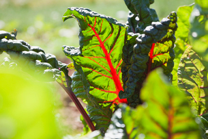 Close-up of chard leaves in fieldの写真素材 [FYI02292529]