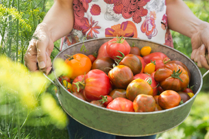 Midsection of woman holding fresh Tomatoesの写真素材 [FYI02292863]