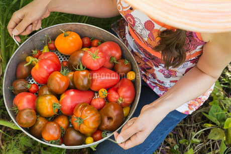 High angle view of woman holding freshly harvested Tomatoesの写真素材 [FYI02292962]