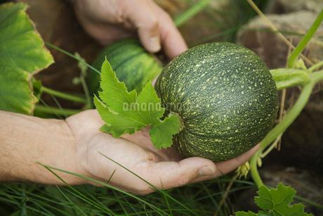 Small squash growing in gardenの写真素材 [FYI02293652]