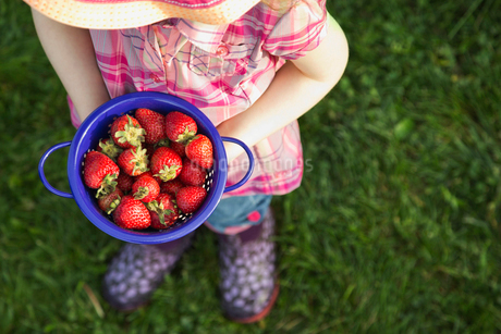 High angle view of girl holding fresh strawberries in colanderの写真素材 [FYI02294354]