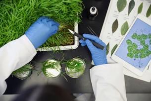 Scientist examining GMO plants in laboratoryの写真素材 [FYI02294764]