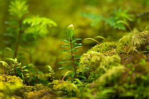 苔の森・モミの新芽の写真素材 [FYI02297072]