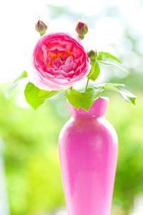 ピンクのバラの花と蕾と花瓶の写真素材 [FYI02297170]
