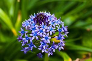 シラーの青い花 ペルビアナブルーの写真素材 [FYI02301741]