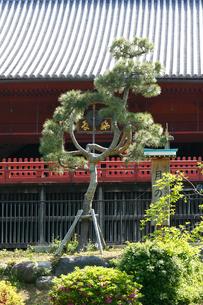 上野 清水堂 月の松の写真素材 [FYI02306260]