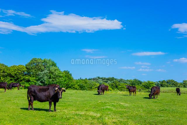牛の放牧と青空の写真素材 [FYI02306332]
