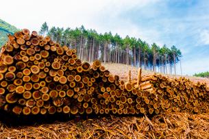 スギ林の伐採現場の写真素材 [FYI02306342]