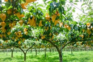 黄色い袋掛けしたナシの果樹園の写真素材 [FYI02306348]