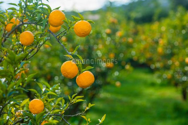 果樹園のユズの写真素材 [FYI02306447]