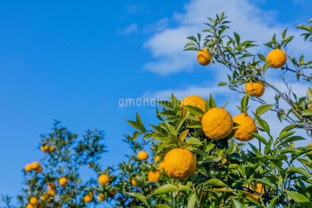 青空と果樹園のユズの写真素材 [FYI02306453]