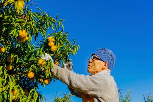 ユズを収穫するシニアの男性 ユズ園のオーナーの写真素材 [FYI02306488]
