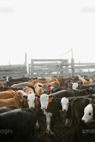 Tagged cows in corral on cattle ranchの写真素材 [FYI02306586]