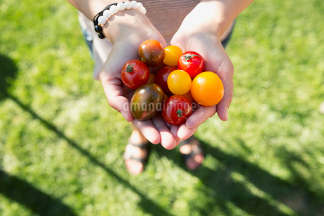 Overhead view woman holding fresh picked cherry tomatoesの写真素材 [FYI02306915]