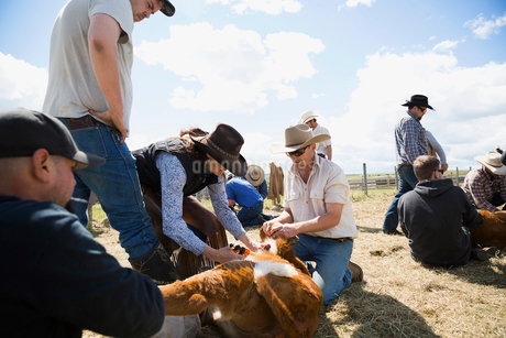 Cattle ranchers vaccinating cowの写真素材 [FYI02307083]