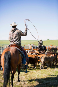 Cattle rancher on horseback herding cattle with lassoの写真素材 [FYI02307247]