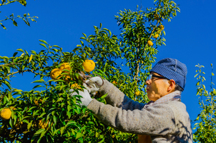 ユズを収穫するシニアの男性 ユズ園のオーナーの写真素材 [FYI02307906]