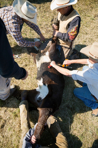 Cattle ranchers vaccinating cowの写真素材 [FYI02308226]