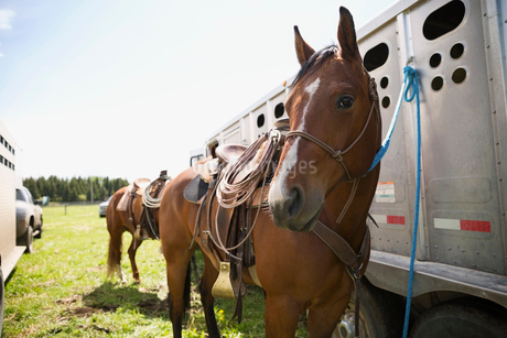 Portrait horse tied to trailer on ranchの写真素材 [FYI02308323]