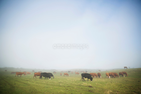 Fog breaking over grazing cows on cattle ranchの写真素材 [FYI02308515]