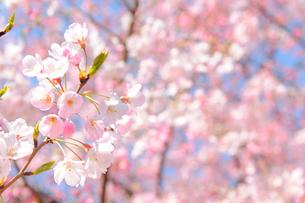 国立劇場の桜の写真素材 [FYI02308597]