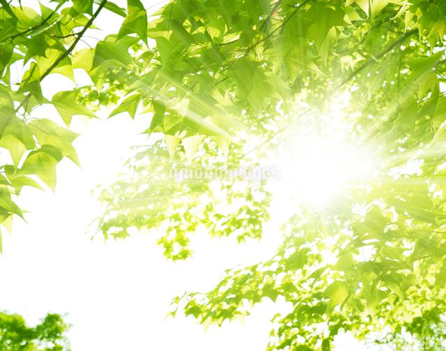新緑の若葉と太陽の写真素材 [FYI02308622]