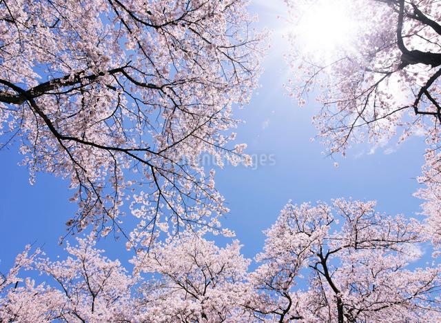 小千谷市の桜の写真素材 [FYI02308631]