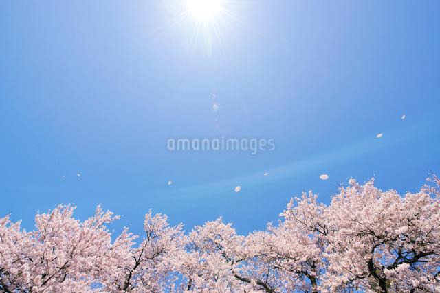 満開の桜と花弁の写真素材 [FYI02308634]