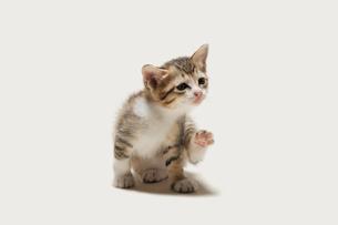 おどけた様子の子猫の写真素材 [FYI02310660]