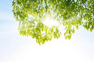 新緑のクスノキと陽光の写真素材 [FYI02310677]