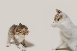 怖いもの知らずに睨み合う子猫の写真素材 [FYI02310681]