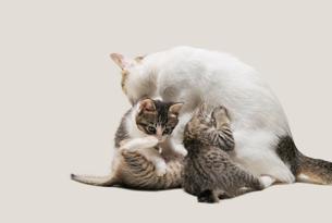 親猫とお乳を飲む子猫の写真素材 [FYI02310792]
