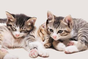 三匹の子猫の写真素材 [FYI02310816]